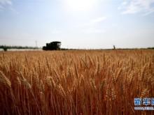 河南:小麦陆续开镰收获
