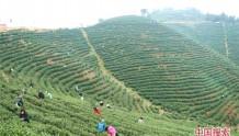 信阳光山:正是春茶采摘时