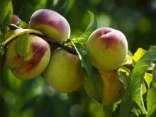 辟谣|网传桃子和多种食物相克?吃桃并没有那么多禁忌