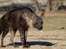 经常被人小瞧的鬣狗,原来对草原做了如此大的贡献!